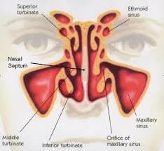Nose Surgery Anatomy